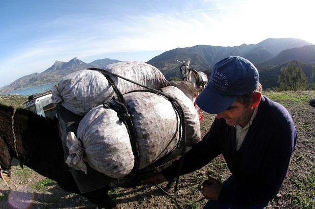 Un arriero carga con sacos de aceitunas un animal. Foto Jorge Garrido (La Voz de Cádiz)