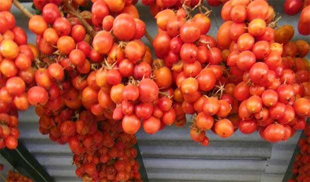 Tomates de viña colgados en un sombrajo después de su recolección. De esta forma se conservan durante todo el invieron, aunque se van secando. Foto: Cosas de Comé