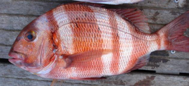 La urta, el pescado al que está dedicada la fiesta. Foto tomada de la web pescaenceuta.com