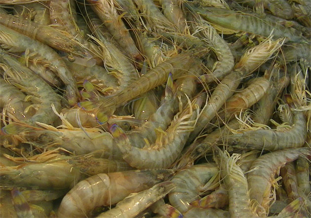 Langostinos de estero crudos. El pasado sábado aún se podían ver saltando, vivos, en la pescadería de Manguita. Foto: Cosas de Comé.
