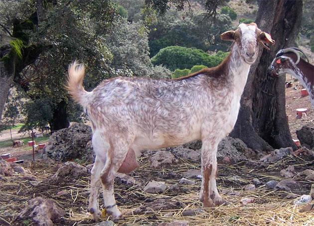 Imagen de una cabra payoya. Foto cedida por la Asociación de Criadores de la Raza Caprina Payoya