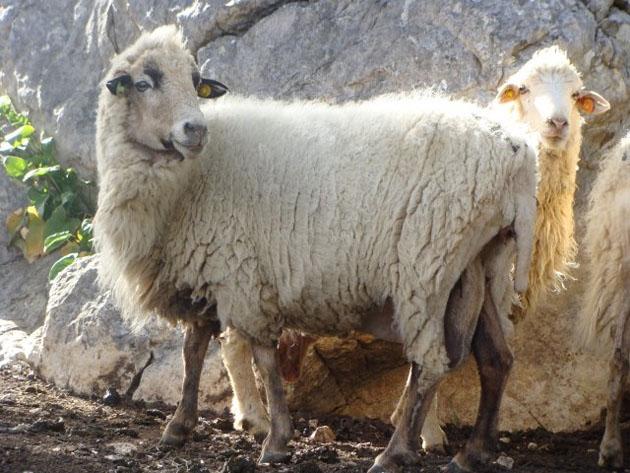 Una oveja de la raza merina grazalemeña. Foto cedida por la Asociación de Criadores de Raza Ovina Merina de Grazalema