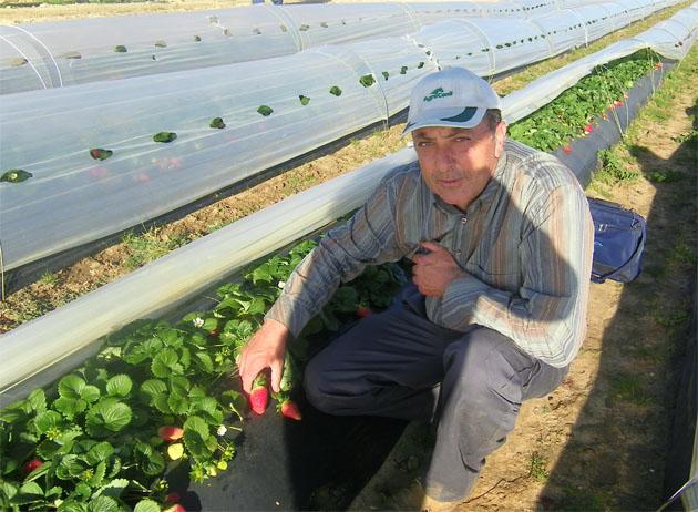 Juan Moreno junto a uno de los microtúneles de plástico bajo los que crecen las fresas. Foto: Cosas de Comé.